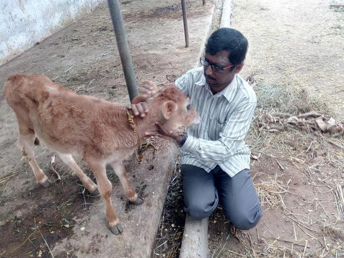 Sundar cow